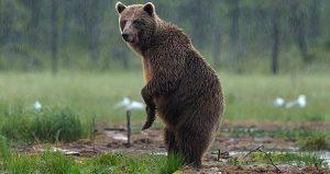 Características de los osos