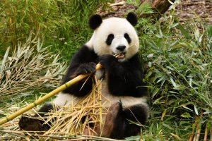 Características del oso panda