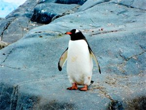 Características del Pingüino