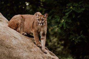 Características del Puma