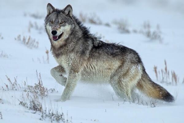5 características de un Lobo
