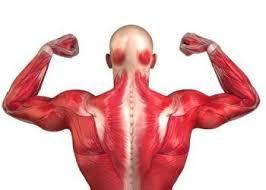 Características del Tejido Muscular